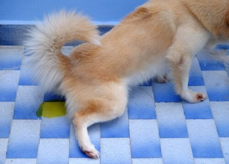 çişini yapan köpek