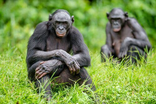 iki bonobo kamera orman