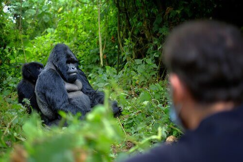 Gorilleri Korumak için Hayatını Veren 6 Koruma