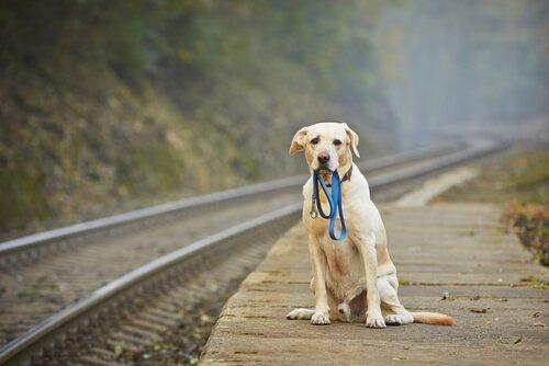 ağzında tasma ile bekleyen köpek
