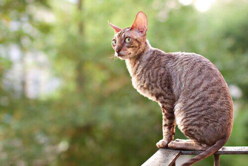japon kıvrık kuyruk kedisi uzaklara bakıyor