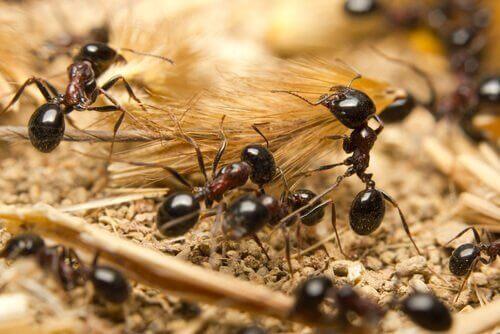 karınca sürüsü