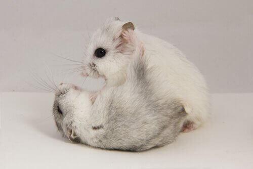 kavga eden hamsterlar