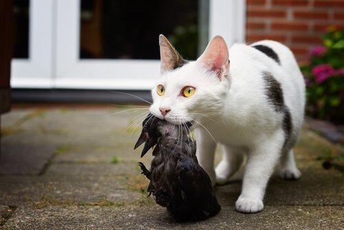 kedi kuş av