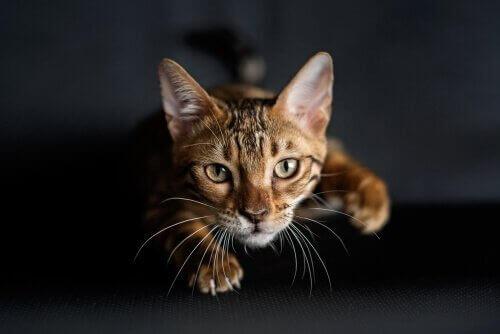 Kediler Avlanmayı Tam Olarak Nasıl Öğrenirler?