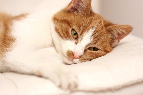 Bir Kedinin Hasta Olduğuna Dair Belirtiler Nelerdir?