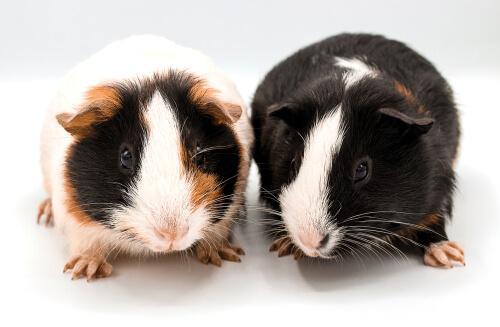 Guinea Pig İle İlgili Eğlenceli Bilgiler