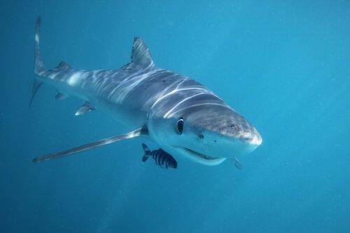 yüzen köpek balığı