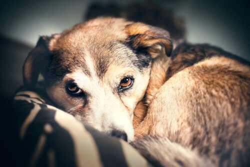 gök gürültüsü korkusu yaşayan köpek