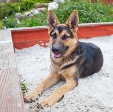Köpeğinize Kum Kabı Eğitimi Verin