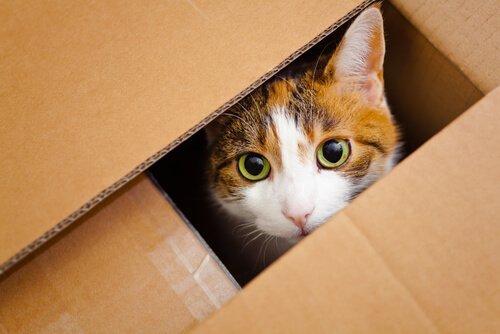 kutu içinde saklanan kedi