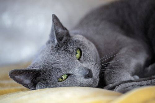 Mavi Rus kedisi ve shorthair kediler