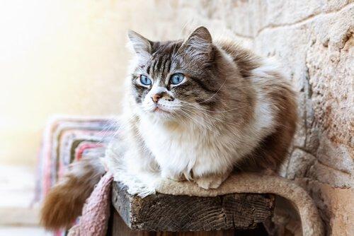 uzun tüylü kedi ragdoll