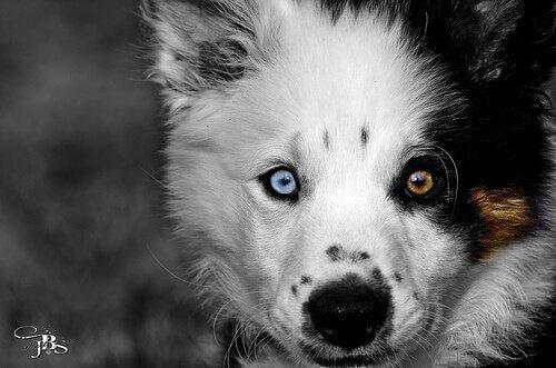 renkli gözlü köpek