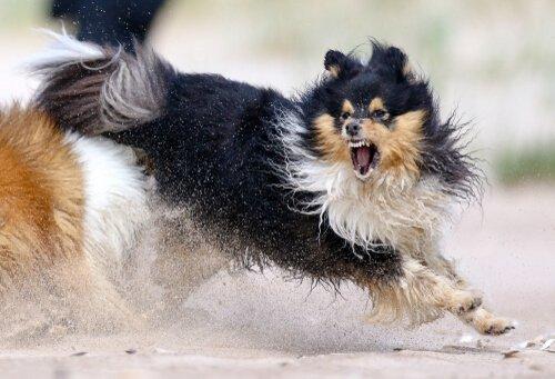 Köpeğinizin Saldırganlığı ile Başa Çıkmak