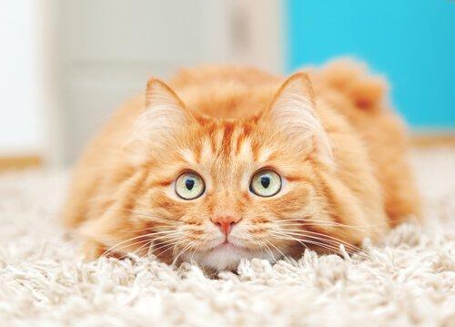 halının üstünde yatan kedi