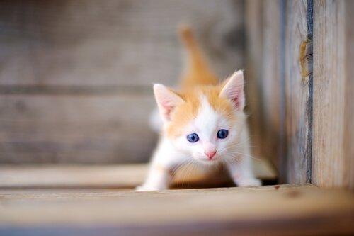 kollarını açmış sarı tüylü yavru kedi