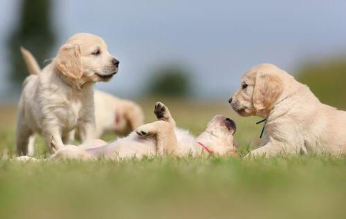 köpekler için yaygın altı uyku pozisyonu