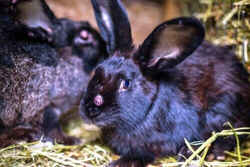Tavşanlarda Viral Hastalıklar ve Etkileri