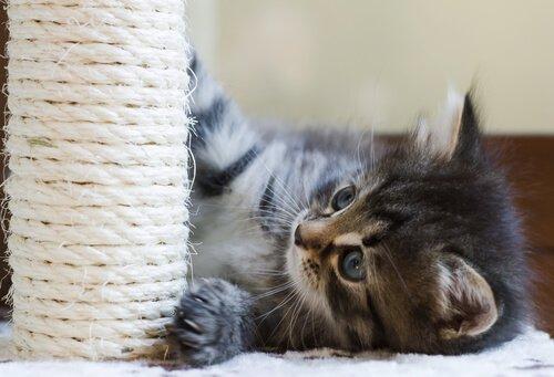 yavru kedi ve tırmanma ağacı