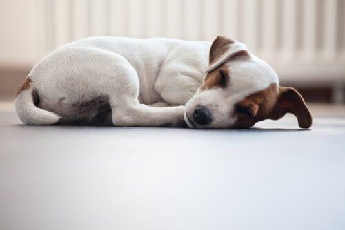 yuvarlanarak uyuyan köpek
