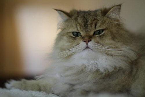 5 Farklı Uzun Tüylü Kedi Türü