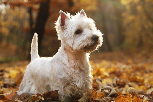 İskoçya Highlands Bölgesi Köpekleri