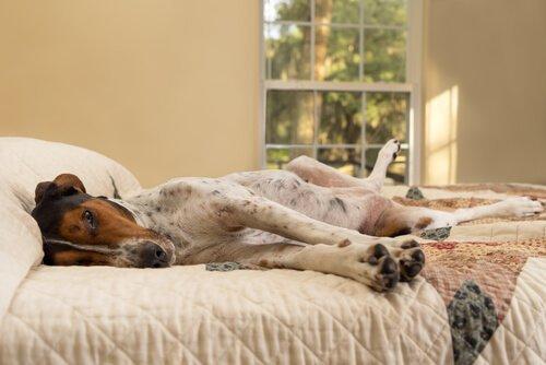 yatakta uyuyan köpek