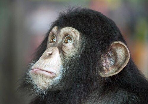 zeki şempanze