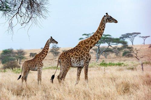 iki tane zürafa