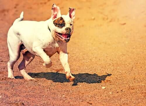 beyaz renkli Amerikan Bulldog