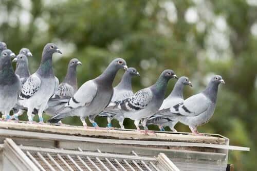 çatıda güvercinler