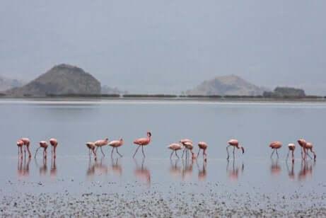 yemek yiyen flamingo sürüsü