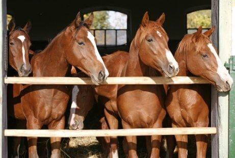 sıra sıra dizilmiş kahverengi atlar
