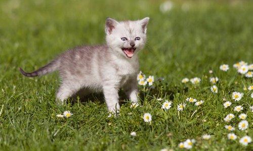 Kedilerin Miyavlama Sesi: Bilmeniz Gerekenler
