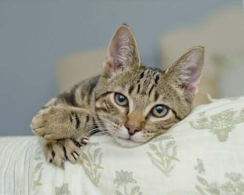 Kedinizin Sahip Olduğu Pençeler Ne İşe Yarar?