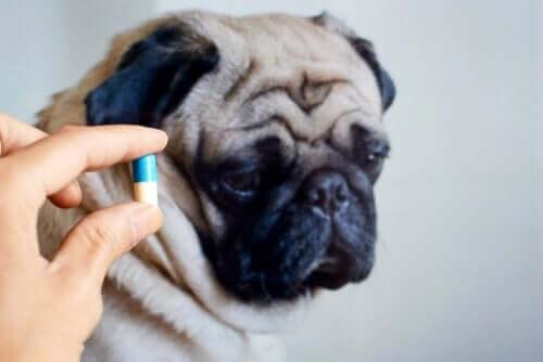 Köpeğinize Antibiyotik Vermek Yararlı mıdır?