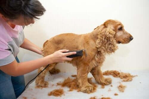 tıraş edilen köpek