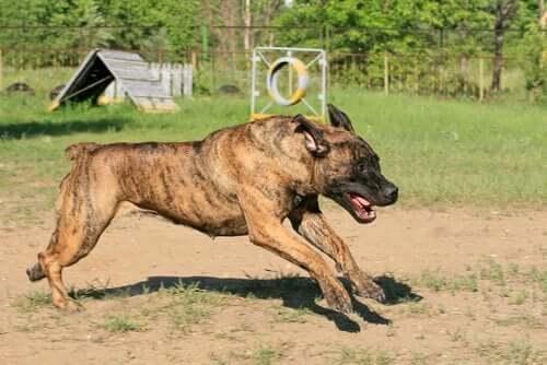 FCI Tarafından Tanınmayan Köpek Irkları