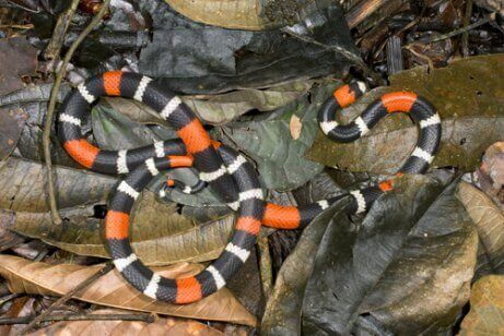renkli mercan yılanı
