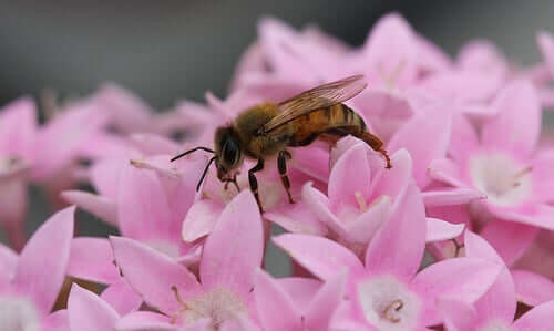 pembe çiçek arı