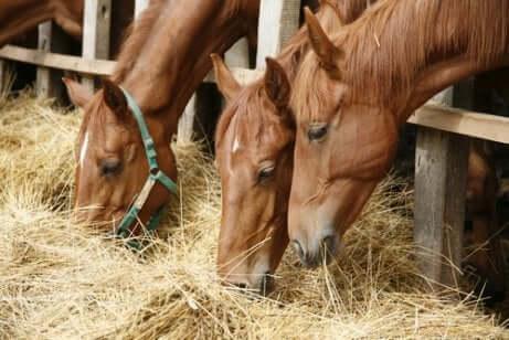 yemek yiyen sağlıklı atlar