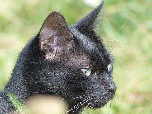 Bir Kedinin Kulak Temizliği Nasıl Yapılır