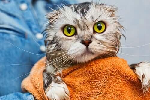 yeşil gözlü gri kedi