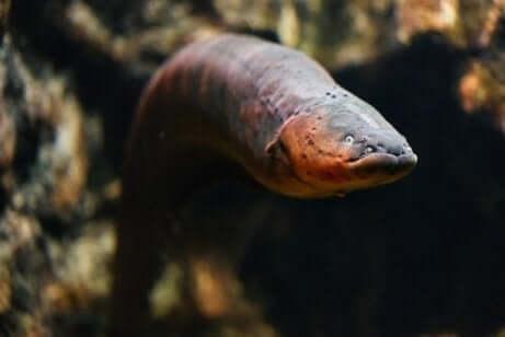 yılan balığının yaşam döngüsü