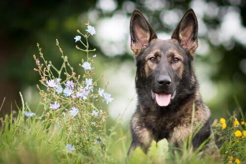 Harika Bir Köpek: Alman Kurdu Eğitimi
