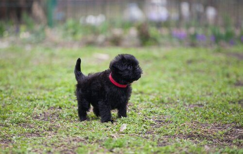siyah küçük köpek