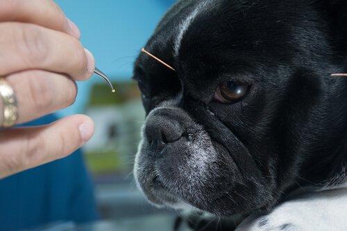 akupunktur yaptıran french bulldog