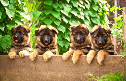 Alman kurdu yavruları