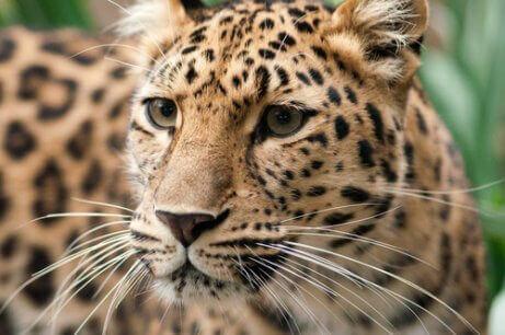 tehlike altındaki hayvanlar ve Amur parsı